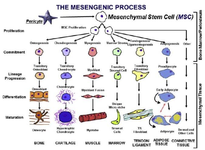 The mesengenic process